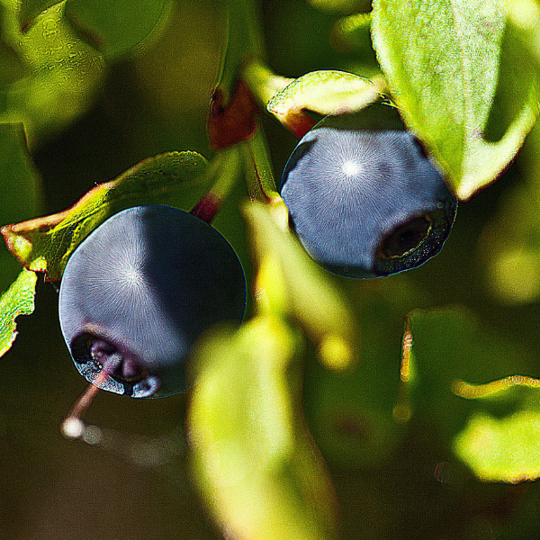 blueberry plant